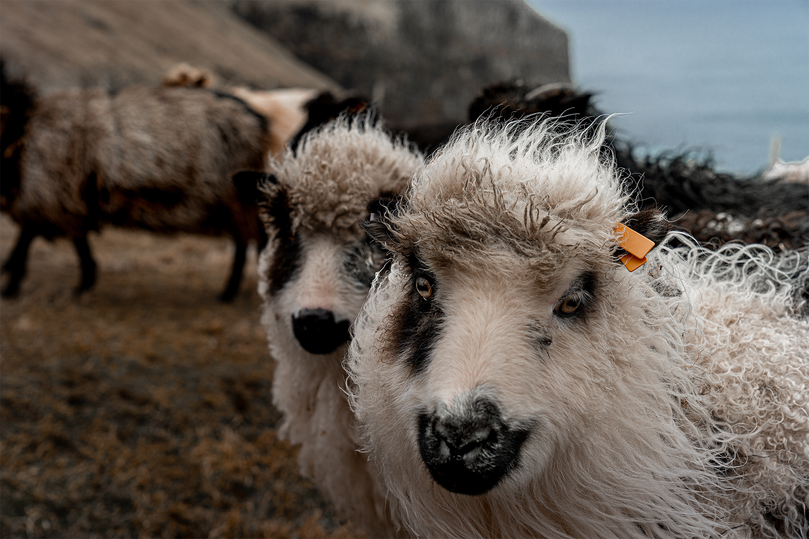 Faroe_2Sheep-DOF-2700i